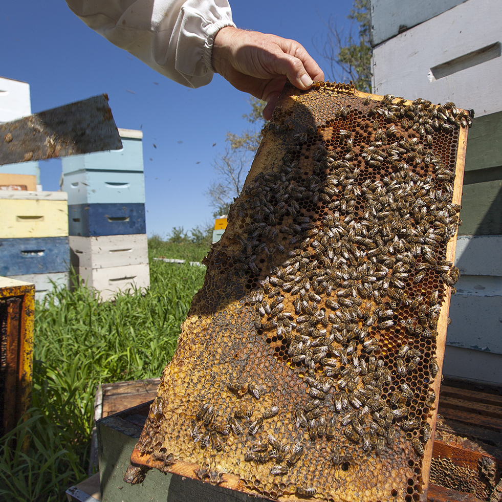 Honey Bees Helping Crops